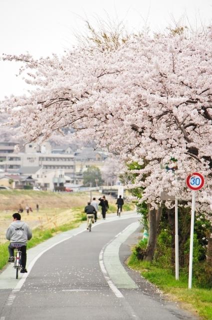 桜並木をサイクリング